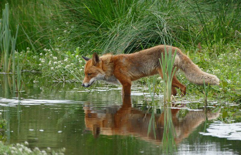 Advies aan provincie Gelderland: trek ontheffing voor bestrijding vos in!