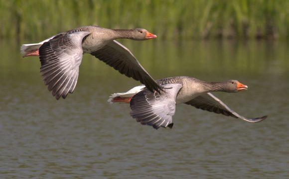 Dierenrechtenorganisaties naar rechter om vergassingen duizenden ganzen