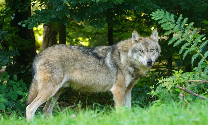 De wolf komt: ontvang hem gastvrij