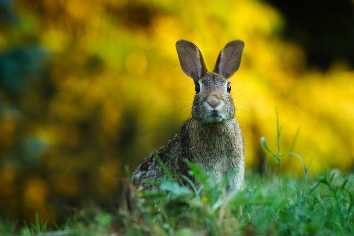 Rechter: nachtelijk afschot konijnen verboden