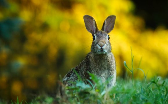 In Zuid-Holland zijn konijnen zelfs 's nachts vogelvrij