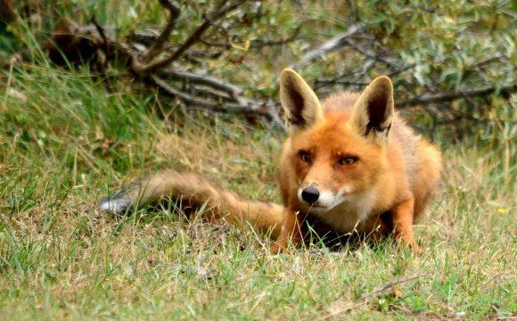 In Zuid-Holland vossen ook 's nachts vogelvrij