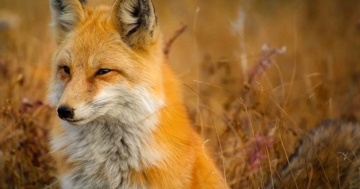 Drentse vossen worden bestreden in strijd met Faunabeheerplan