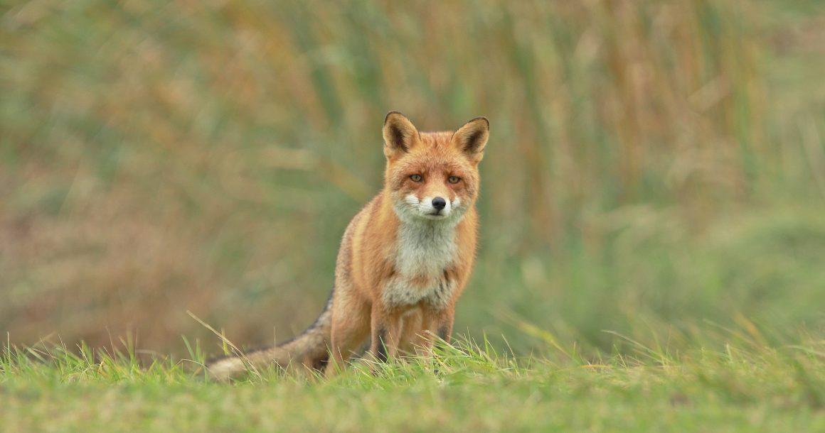 Ook in Utrecht naar rechter: stop nachtelijk afschot vossen