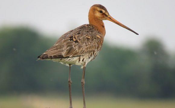 53 miljoen wilde vogels jaarlijks afgeknald