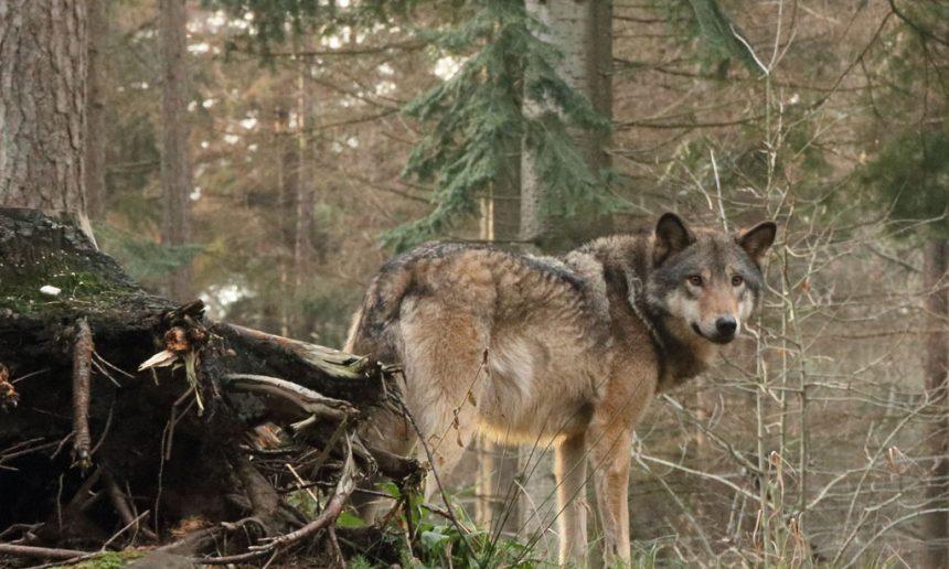 Over de wolf in Nederland