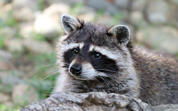 Twaalf dierenrechtenorganisaties willen stop wasberenjacht