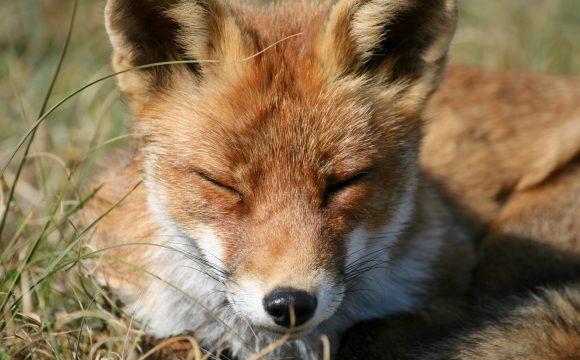 Rechter verbiedt nachtelijk vossenafschot