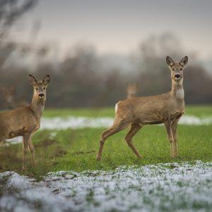 Friesland geeft opdracht tot doodschieten reeën