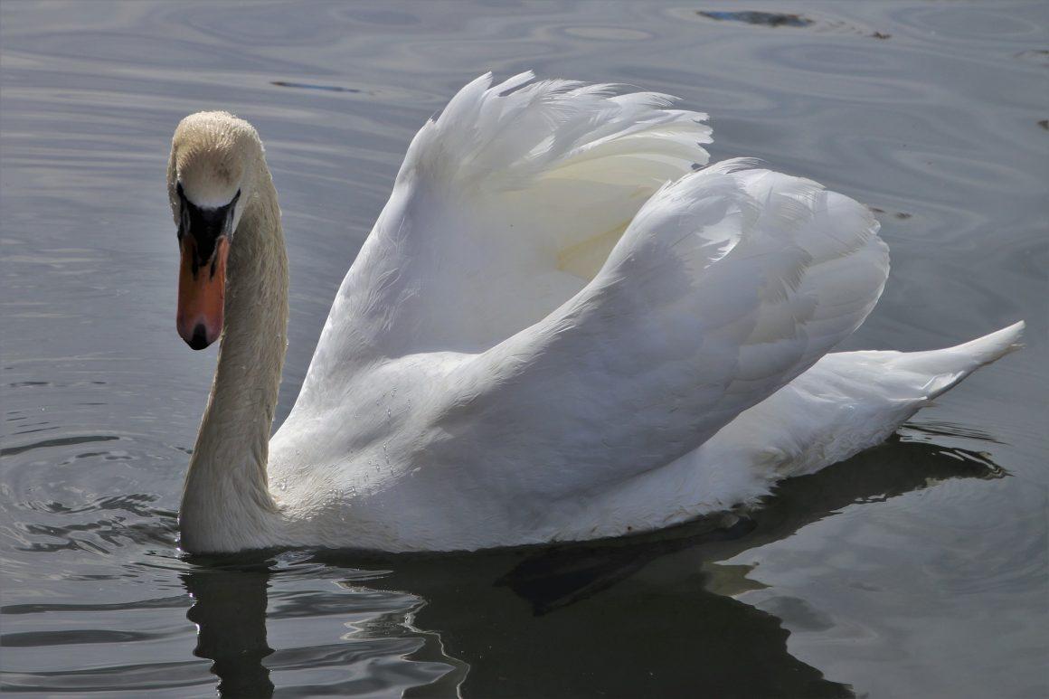 Knobbelzwanen Friesland hele jaar vogelvrij