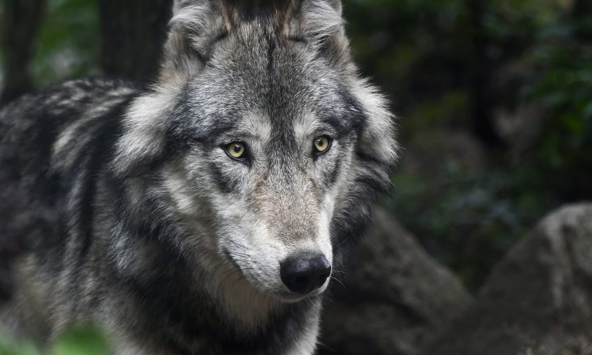 De wolf: de enige echte jager