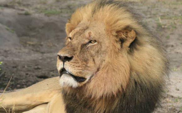 Cecil de leeuw – 5 jaar geleden gedood door een trofeeënjager