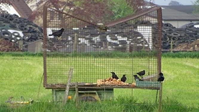 Hoger beroep inzake vangen kraaien en kauwen in Gelderland