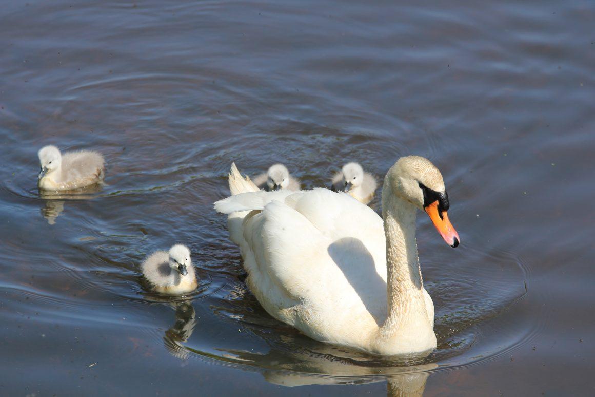 Utrechtse zwanen in gevaar