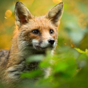 Nachtelijk afschot vos in Groningen van de baan