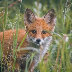 Nachtelijk afschot vossen in Zuid-Holland