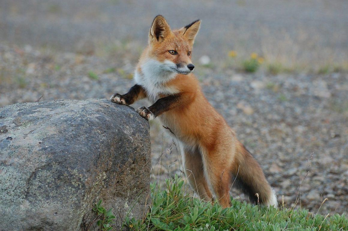 Stop nachtelijk afschot vossen