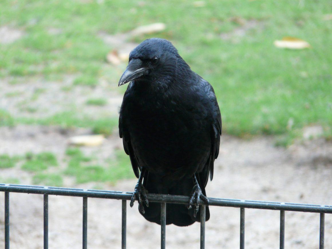 Ook vangkooien voor zwarte kraaien in Limburg