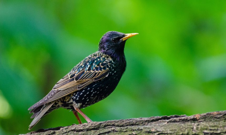 Spreeuwen uit nest gebruikt als lokvogel